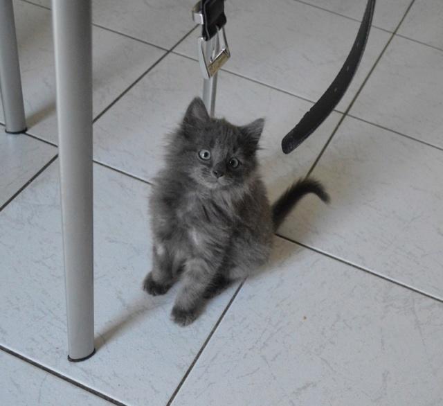 ORKAAN, chaton mâle gris à poils mi longs, né vers le 25/06/18 Dsc_0152