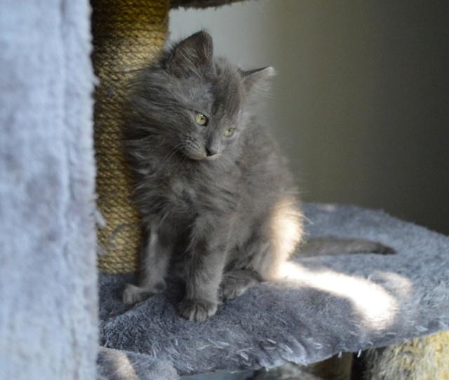 ORKAAN, chaton mâle gris à poils mi longs, né vers le 25/06/18 Dsc_0155