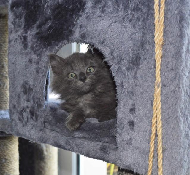 ORKAAN, chaton mâle gris à poils mi longs, né vers le 25/06/18 Dsc_0156