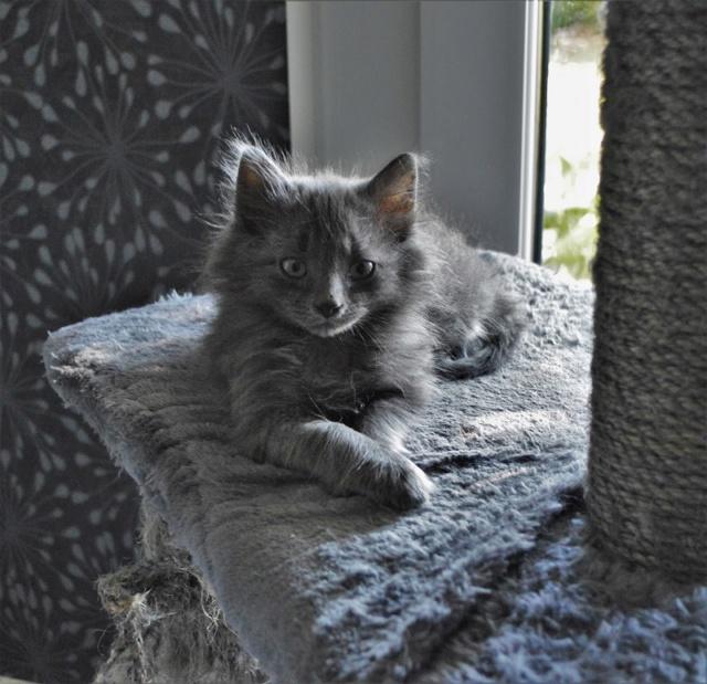 ORKAAN, chaton mâle gris à poils mi longs, né vers le 25/06/18 Dsc_0157