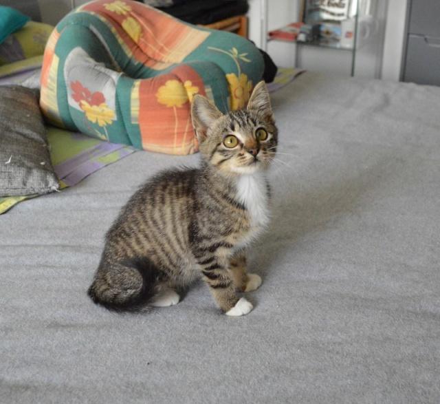 OMEGA, chatonne tigrée et blanche, née vers le 14/06/18 Dsc_0161