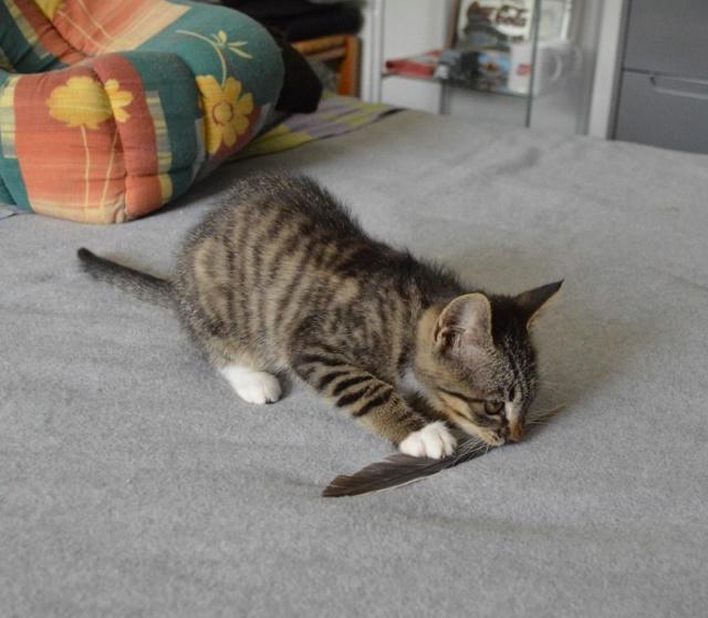 OMEGA, chatonne tigrée et blanche, née vers le 14/06/18 Dsc_0163