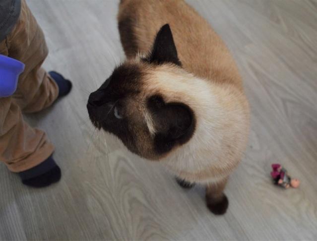 MASCHA, chatte typée siamoise, née en 2016 Dsc_0198