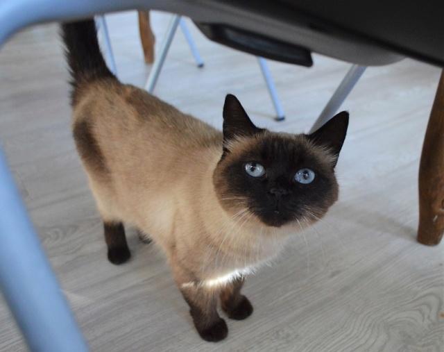 MASCHA, chatte typée siamoise, née en 2016 Dsc_0199