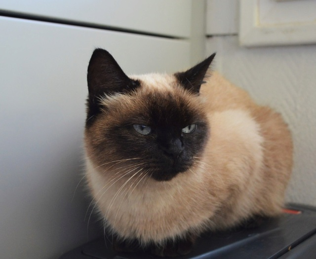 MASCHA, chatte typée siamoise, née en 2016 Dsc_0201