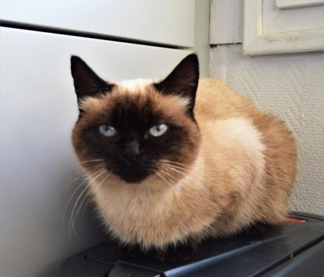 MASCHA, chatte typée siamoise, née en 2016 Dsc_0202