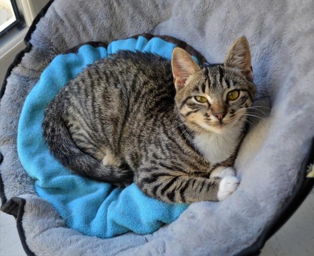 OMEGA, chatonne tigrée et blanche, née vers le 14/06/18 Dsc_0222