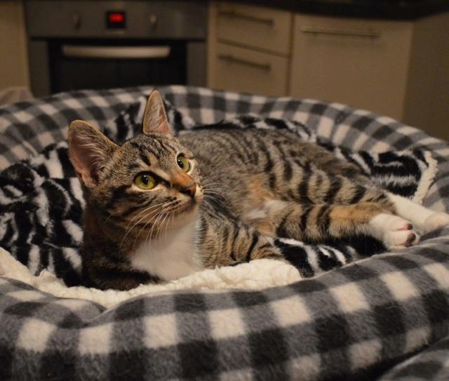 OMEGA, chatonne tigrée et blanche, née vers le 14/06/18 Dsc_0241