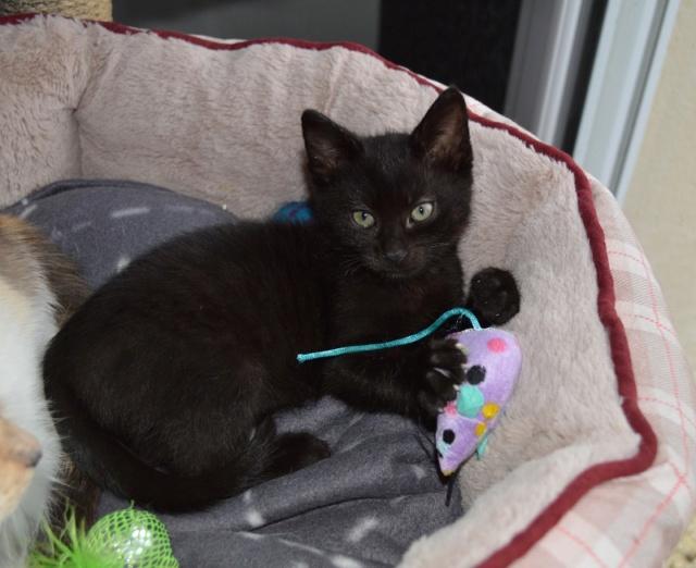 OSTIE, chatonne noire née vers le 08/10/18 Dsc_0246