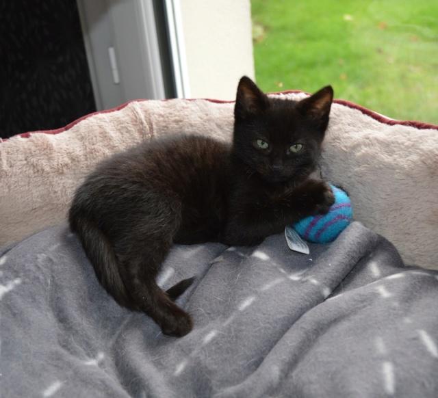 OSTIE, chatonne noire née vers le 08/10/18 Dsc_0247