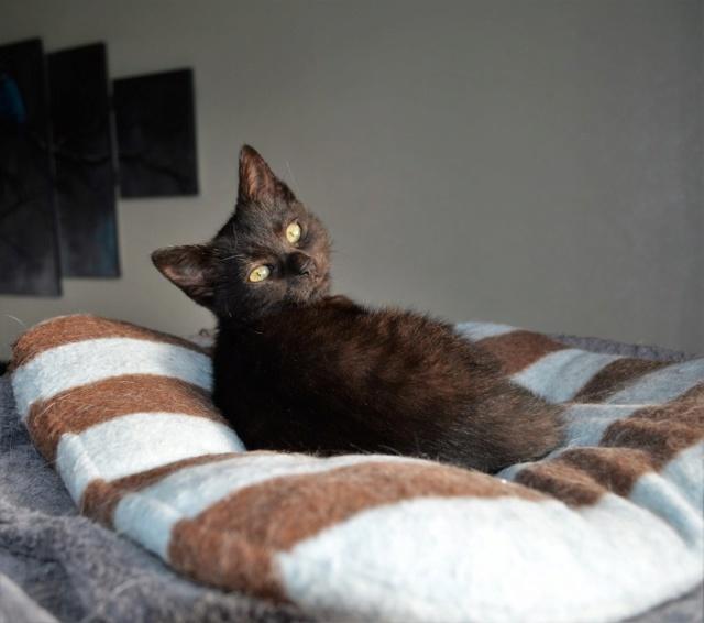 OSTIE, chatonne noire née vers le 08/10/18 Dsc_0249