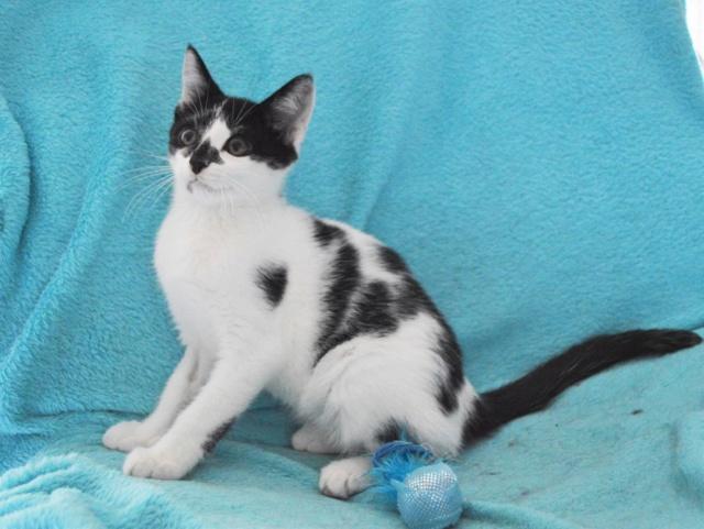 PIKATCHU, chaton mâle noir et blanc, né le 20/04/19 Dsc_0321