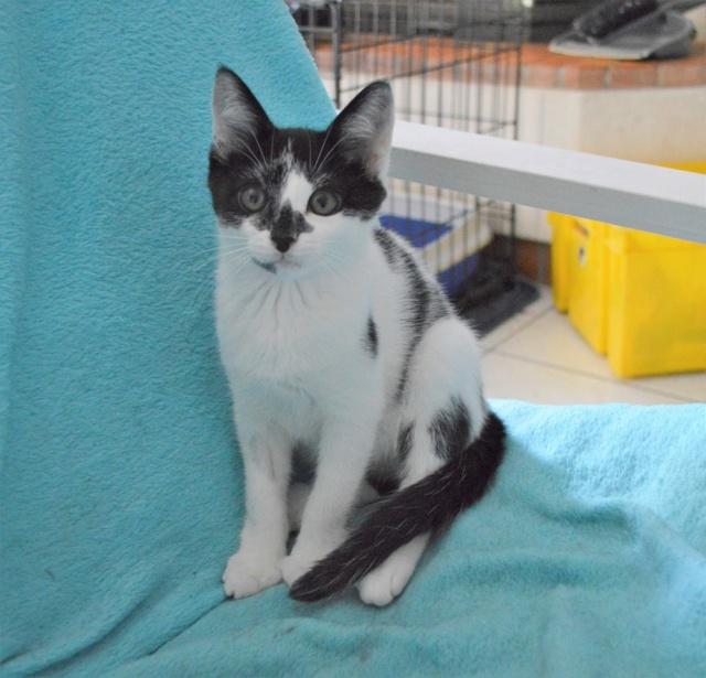 PIKATCHU, chaton mâle noir et blanc, né le 20/04/19 Dsc_0322