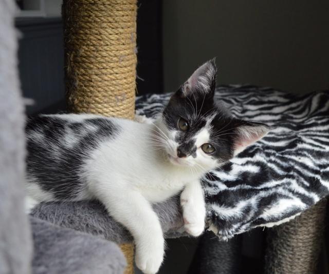 PIKATCHU, chaton mâle noir et blanc, né le 20/04/19 Dsc_0323
