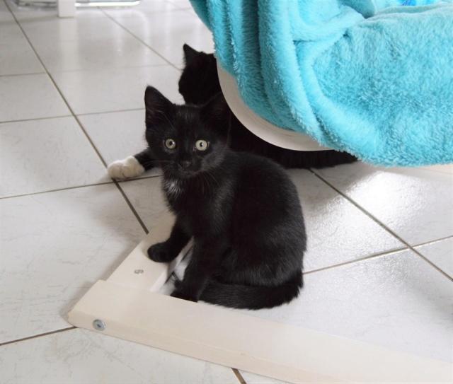 POUPINETTE, chatonne noire née le 20/04/19 Dsc_0325