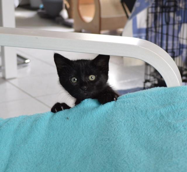 POUPINETTE, chatonne noire née le 20/04/19 Dsc_0326