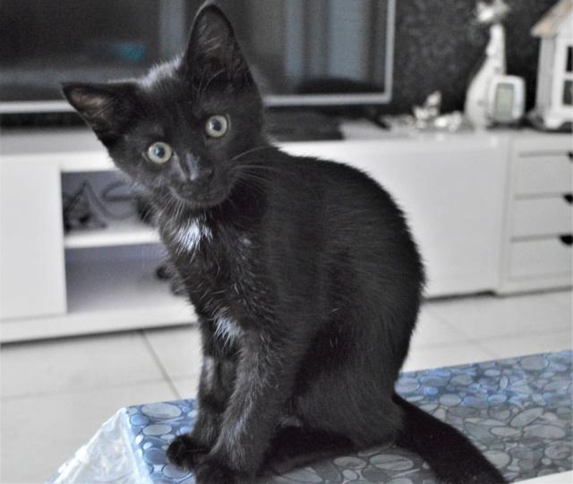 POUPINETTE, chatonne noire née le 20/04/19 Dsc_0330