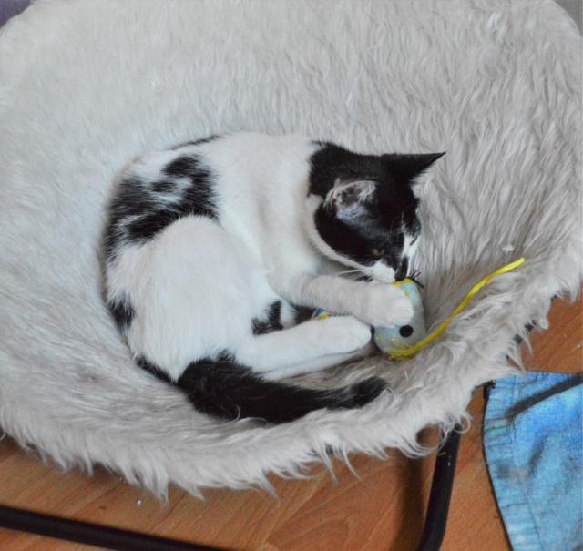 PIKATCHU, chaton mâle noir et blanc, né le 20/04/19 Dsc_0333