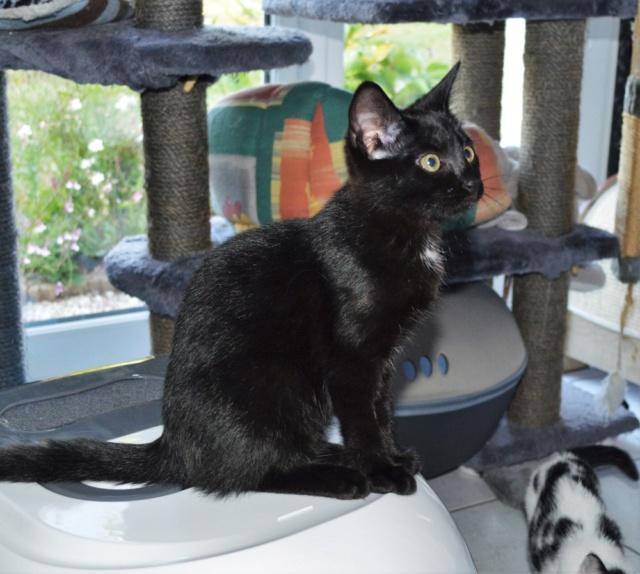 POUPINETTE, chatonne noire née le 20/04/19 Dsc_0334