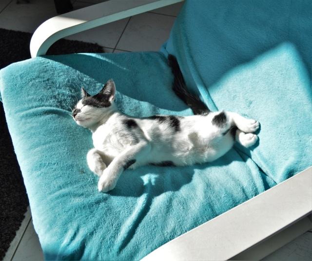 PIKATCHU, chaton mâle noir et blanc, né le 20/04/19 Dsc_0339