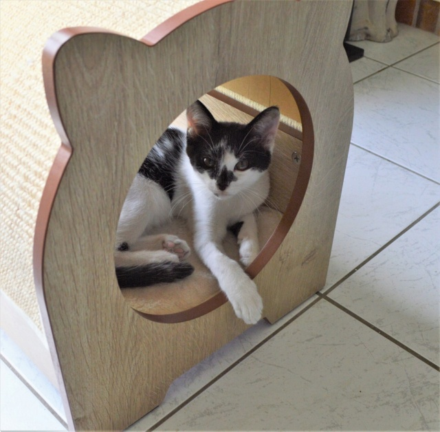 PIKATCHU, chaton mâle noir et blanc, né le 20/04/19 Dsc_0340