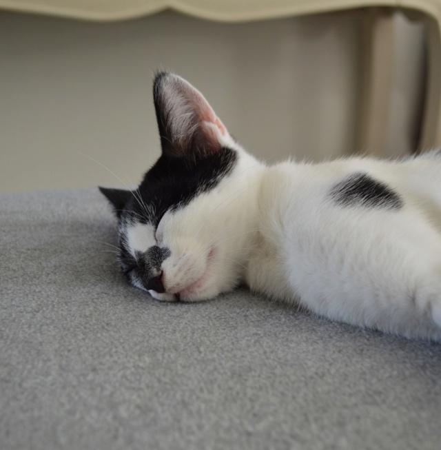PIKATCHU, chaton mâle noir et blanc, né le 20/04/19 Dsc_0342