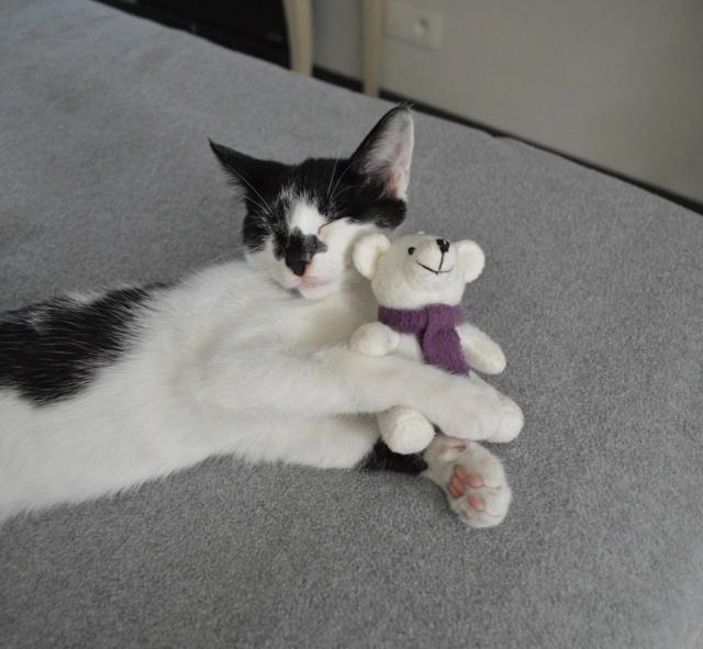 PIKATCHU, chaton mâle noir et blanc, né le 20/04/19 Dsc_0344