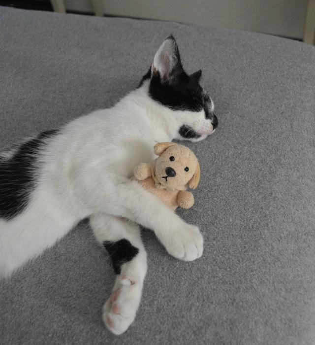 PIKATCHU, chaton mâle noir et blanc, né le 20/04/19 Dsc_0345