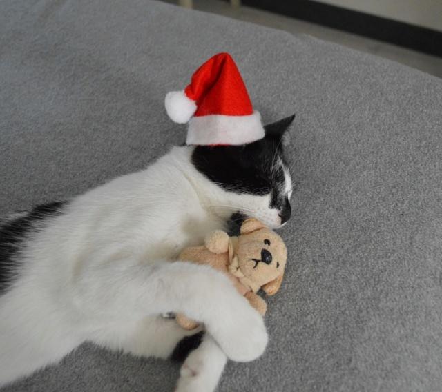 PIKATCHU, chaton mâle noir et blanc, né le 20/04/19 Dsc_0346