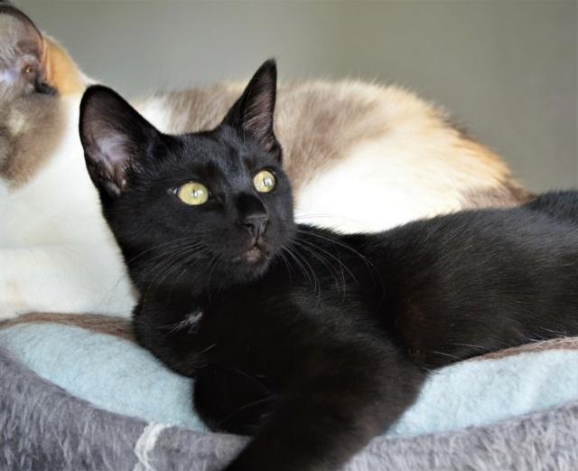 POUPINETTE, chatonne noire née le 20/04/19 Dsc_0352