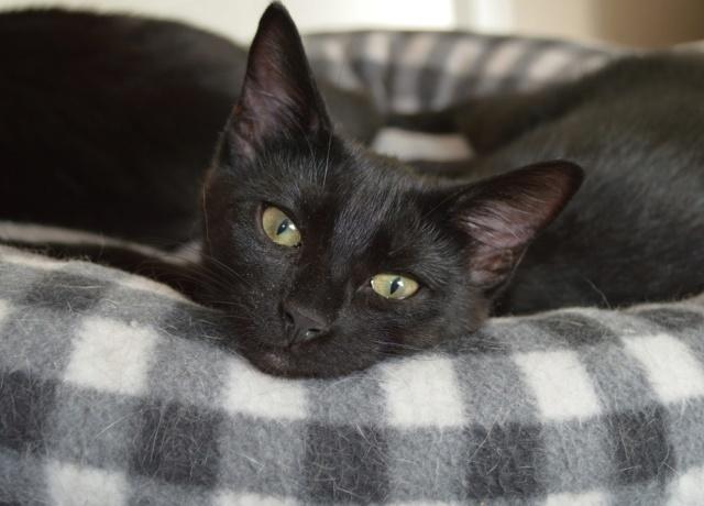 POUPINETTE, chatonne noire née le 20/04/19 Dsc_0354