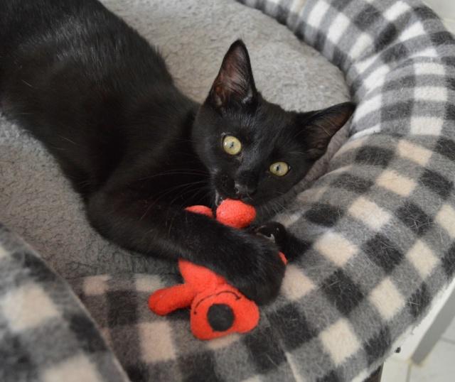 POUPINETTE, chatonne noire née le 20/04/19 Dsc_0356