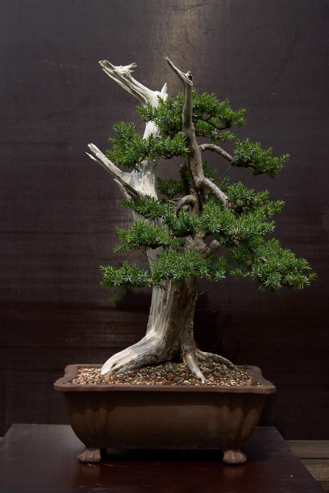 Juniperus Communis (?) start 20190612