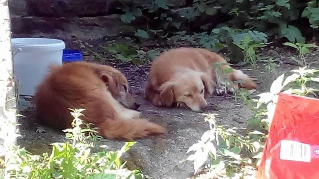 Recherche de FA pour 3 chiens type teckels 213