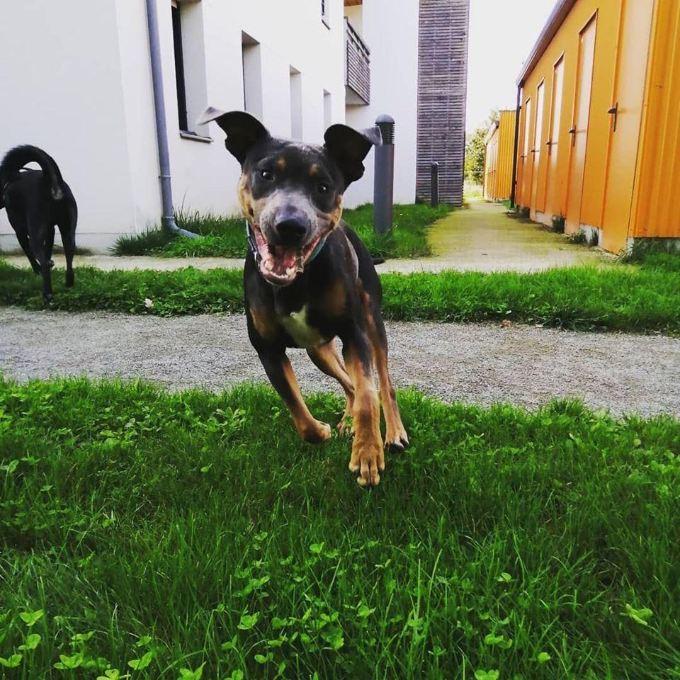 Marley II - mâle x dobermann (14/01/2019) 73309110