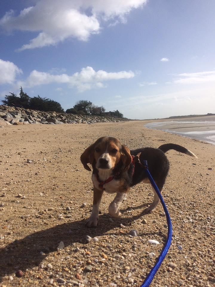 PADDY - mâle type beagle (25/08/2019) 85104010