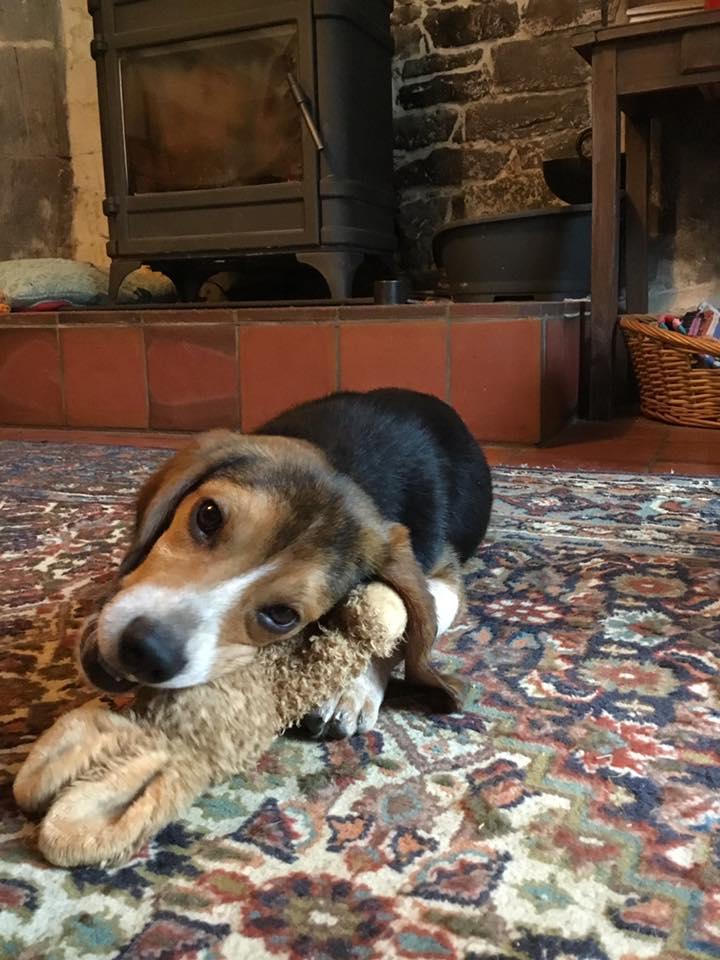 PADDY - mâle type beagle (25/08/2019) 87980510
