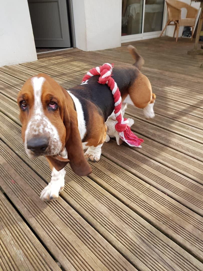 Marcel - mâle type basset hound (30/11/2016) - Réservé ! 91902611