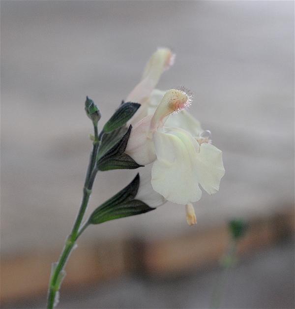 Salvia - les floraisons du moment - Page 19 Jaune_10