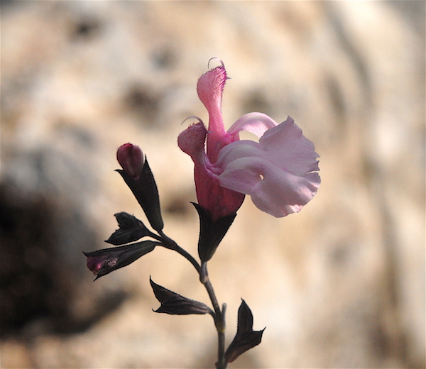 Salvia - les floraisons du moment - Page 19 Melise10