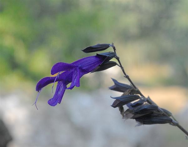 Salvia - les floraisons du moment - Page 19 Salvia10