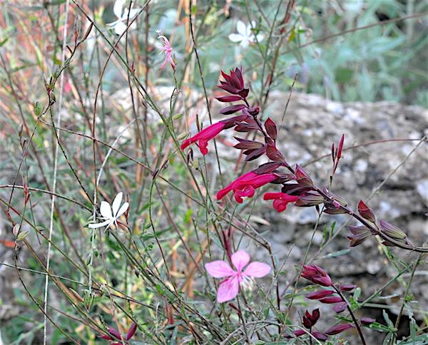 Salvia - les floraisons du moment - Page 19 Salvia11