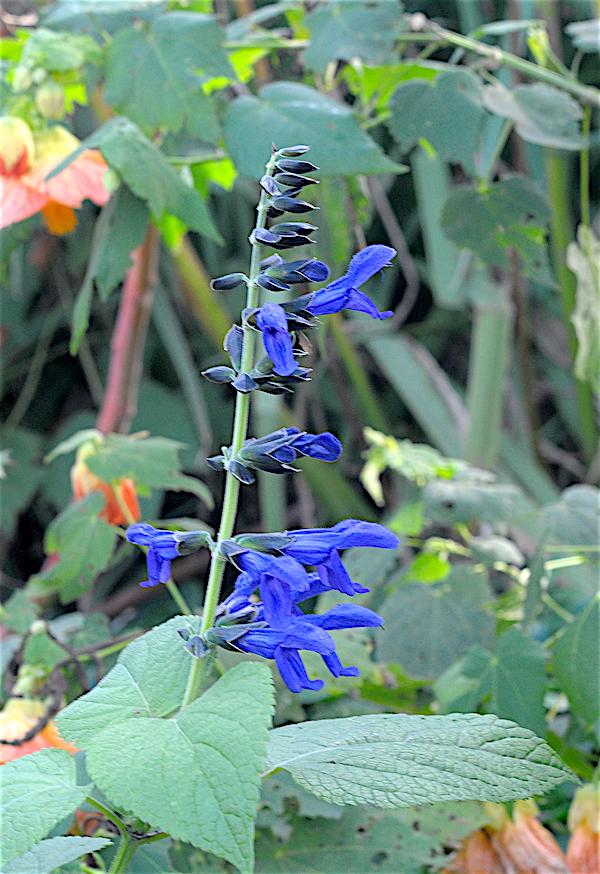 Salvia - les floraisons du moment - Page 19 Salvia12