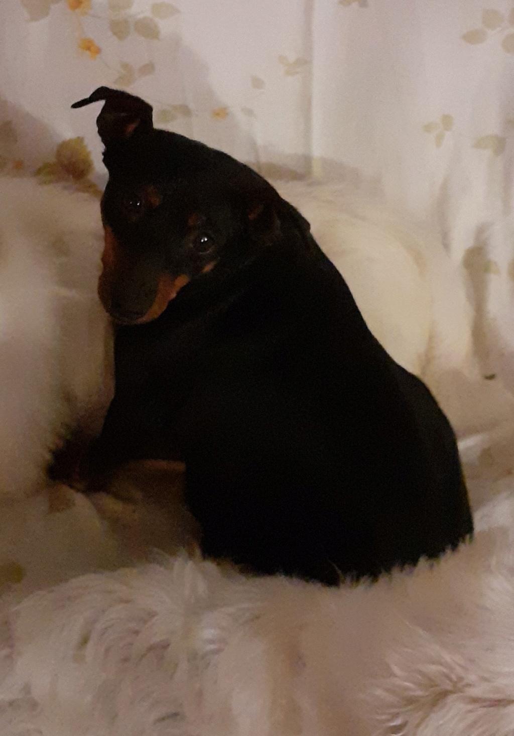 JAZZ, pinscher noire et feu, naine - 5 ans - réformée d'élevage 00811