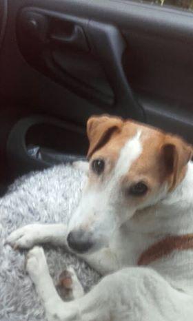 JACOTTE, fox-terrier à poil ras de 14 ans, orpheline Dav10