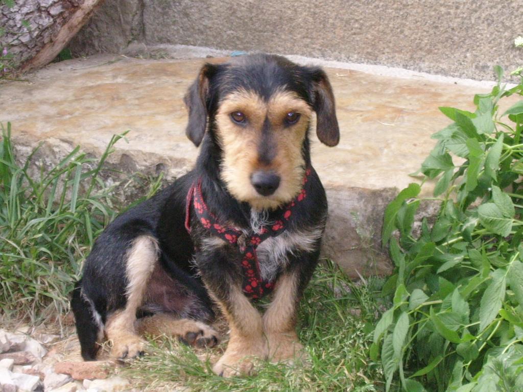 KAPRICE, gentil croisé Teckel / Terrier de 3 ans Ssa57010