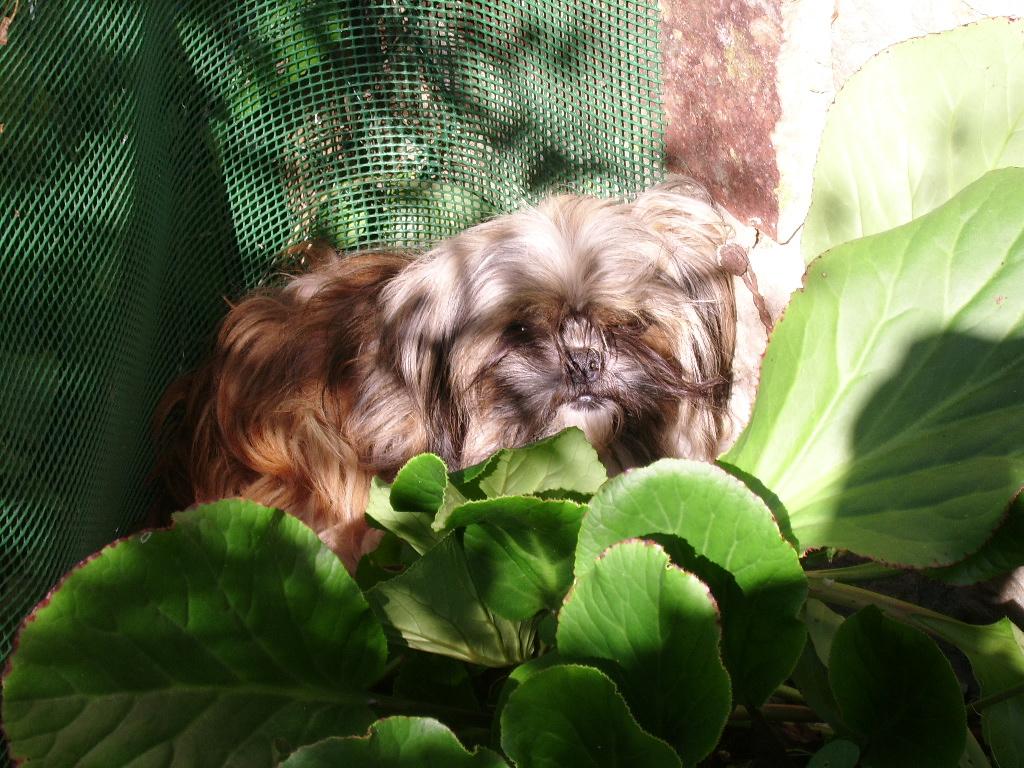 LASSIE, mini sauvageonne de 3 ans - croisée Lhassa / Chihuahua Ssa57126