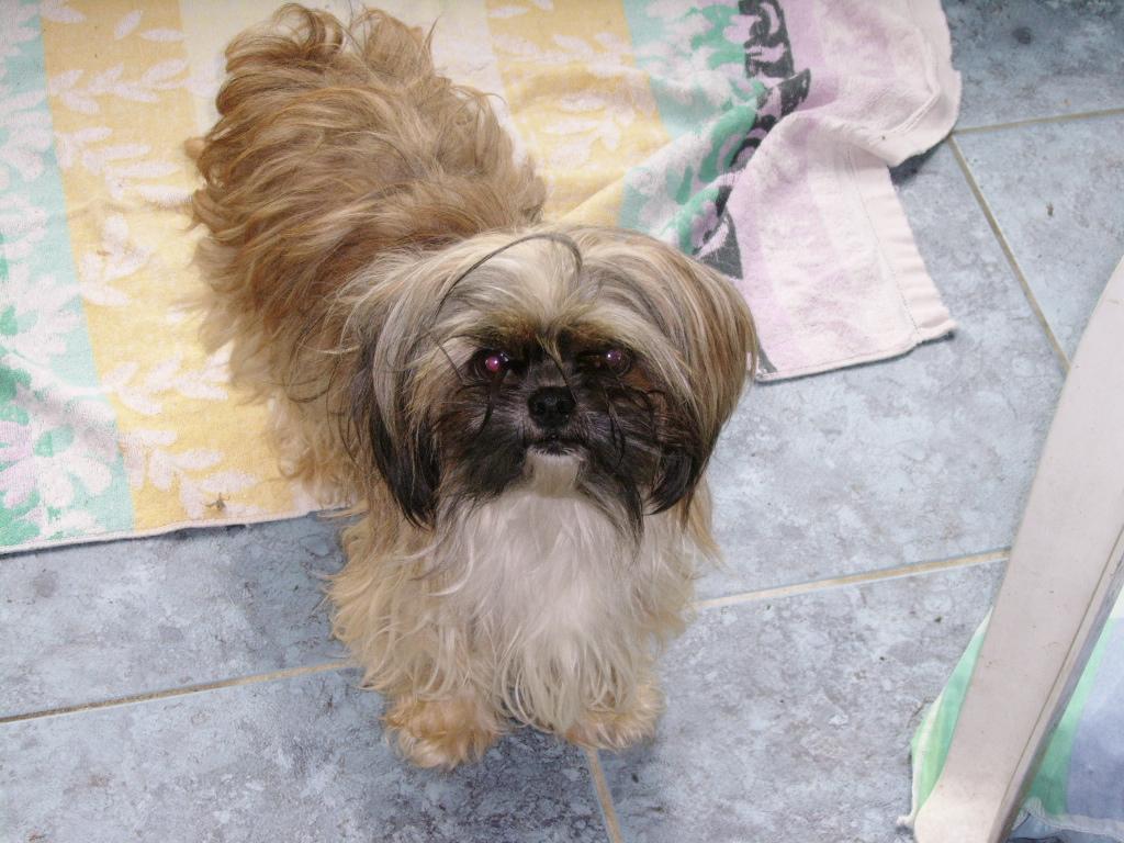 LASSIE, mini sauvageonne de 3 ans - croisée Lhassa / Chihuahua Ssa57132