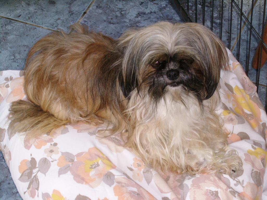 LASSIE, mini sauvageonne de 3 ans - croisée Lhassa / Chihuahua Ssa57133