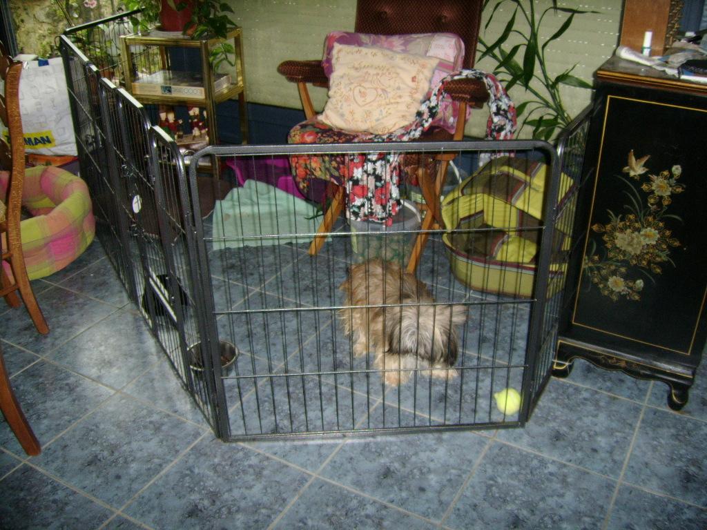 LASSIE, mini sauvageonne de 3 ans - croisée Lhassa / Chihuahua Ssa57210